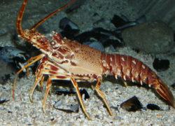 Langouste - LES PIRATES - poissonnerie - produits locaux - mediterranee - Mouans-Sartoux Grasse 06