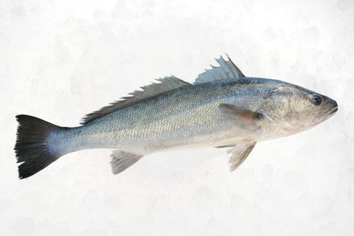Maigre - LES PIRATES - poissonnerie - produits locaux - mediterranee - Mouans-Sartoux Grasse 06