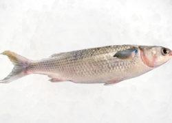 Mulet - LES PIRATES - poissonnerie - produits locaux - mediterranee - Mouans-Sartoux Grasse 06
