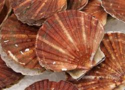Noix de St-Jacques - LES PIRATES - poissonnerie - produits locaux - mediterranee - Mouans-Sartoux Grasse 06