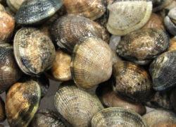 Palourdes - LES PIRATES - poissonnerie - produits locaux - mediterranee - Mouans-Sartoux Grasse 06