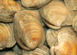 clams - LES PIRATES - poissonnerie - produits locaux - mediterranee - Mouans-Sartoux Grasse 06
